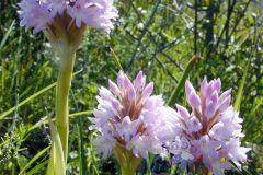 orchidea-piramidale-rosa